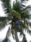 Captain getting coconuts for cocktails.