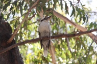 A Kookaburra and his breakfast.