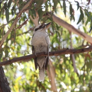 A Kookaburra and his breakfast.