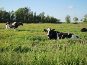Hollands Cows.